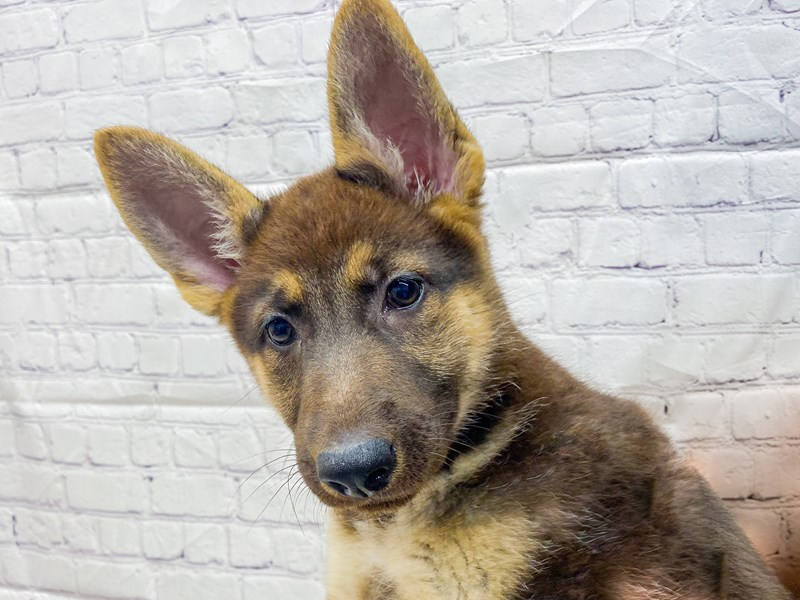 German Shepherd-DOG-Female-Black & Tan-2898015-Petland Wichita, KS
