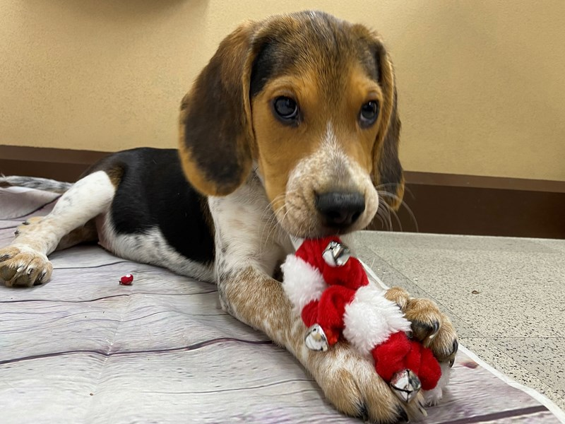 Beagle-Male-Black Tri-2899070-Petland Wichita, KS