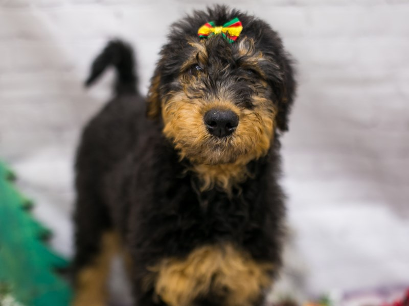 Airedoodle-Female-Black & Rust-2913093-Petland Wichita, KS