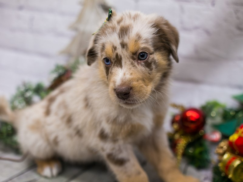 Miniature Australian Shepsky-DOG-Female-Red Merle w White & Tan Markings-2926818-Petland Wichita, KS