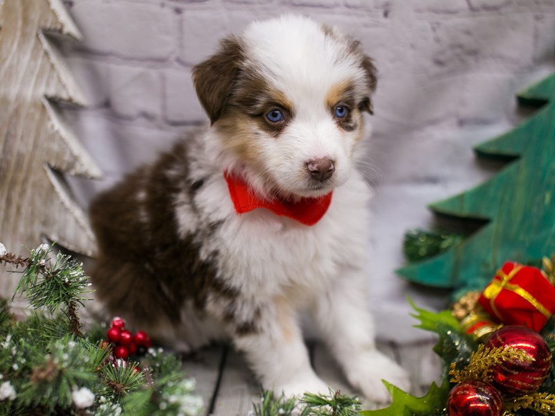 Miniature Australian Shepsky-Male-Red Merle w/White & Tan-2926783-Petland Wichita, KS
