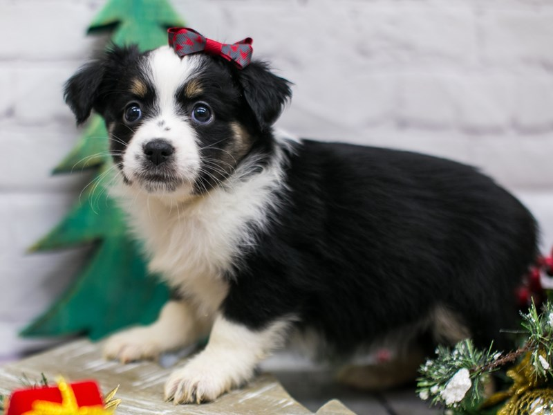 Miniature Australian Shepherd-Female-Black Tri-2934895-Petland Wichita, KS