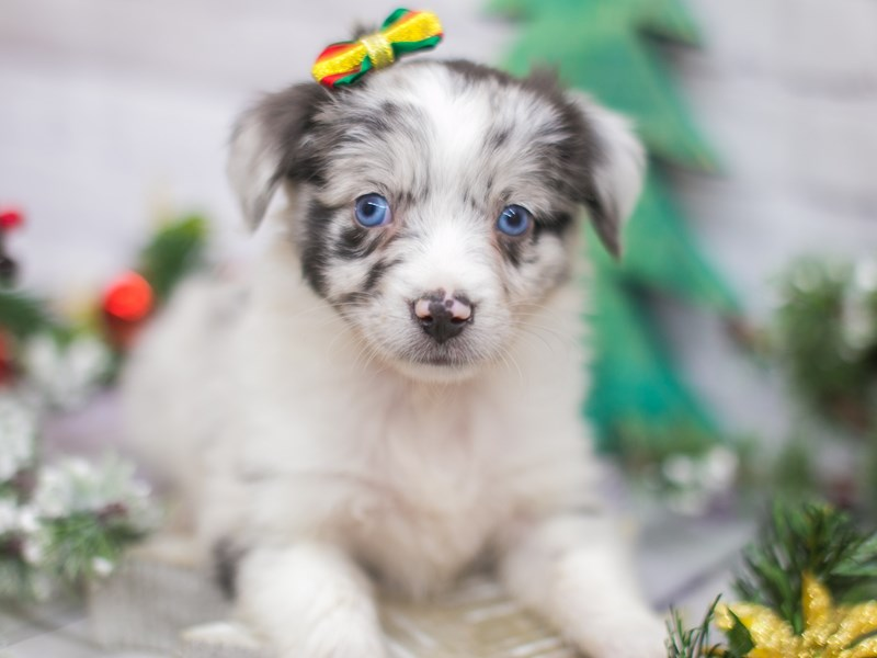 Miniature Australian Shepherd-Female-Blue Merle-2934890-Petland Wichita, KS