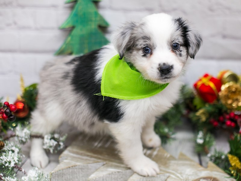 Miniature Australian Shepherd-DOG-Male-Blue Merle-2934863-Petland Wichita, KS