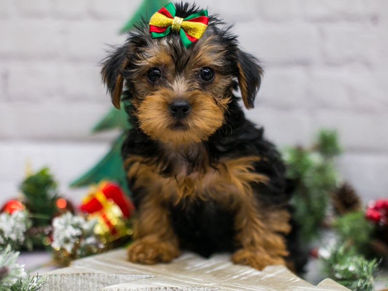 Toy YorkiePoo-DOG-Female-Black & Rust-2934541-Petland Wichita, KS