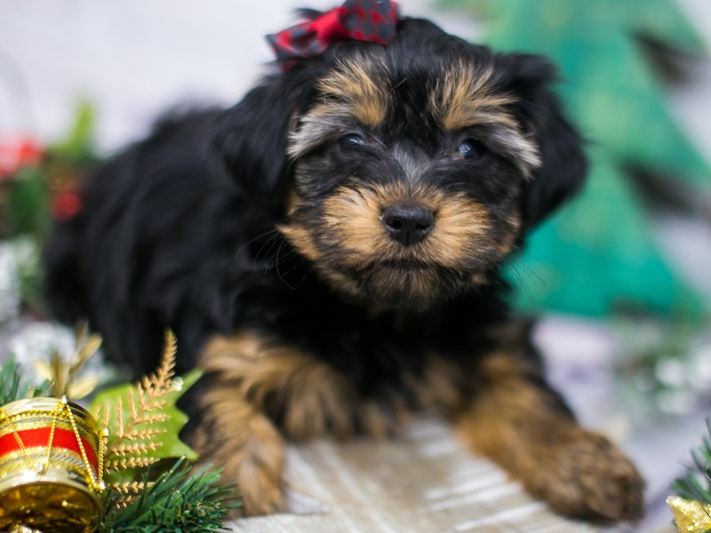 Toy YorkiePoo-Female-Black & Tan-2934539-Petland Wichita, KS