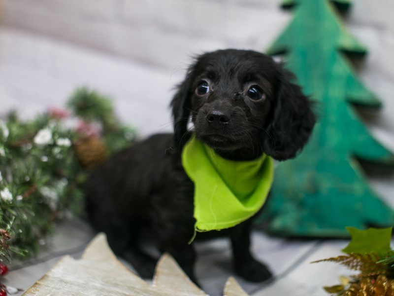 Miniature Dachshund-Male-Black Long Haired-2942271-Petland Wichita, KS