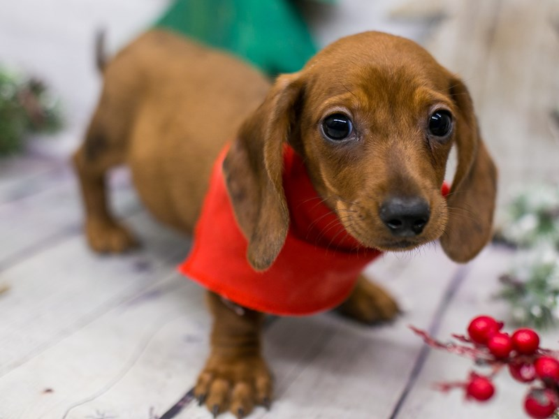 Miniature Dachshund-DOG-Male-Red Smooth Coat-2941993-Petland Wichita, KS