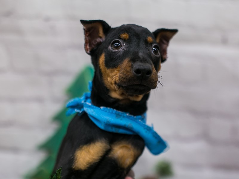 Miniature Pinscher-Male-Black & Rust-2941960-Petland Wichita, KS