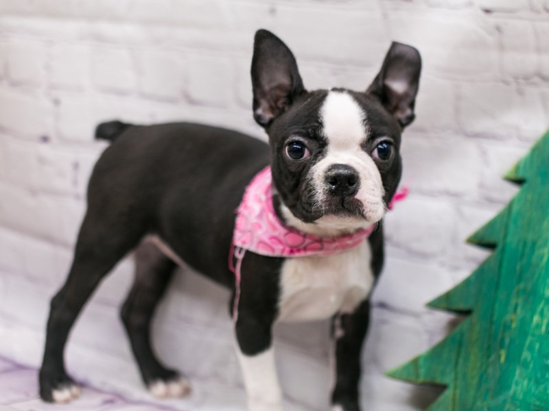 Boston Terrier-DOG-Female-Black & White-2934822-Petland Wichita, KS
