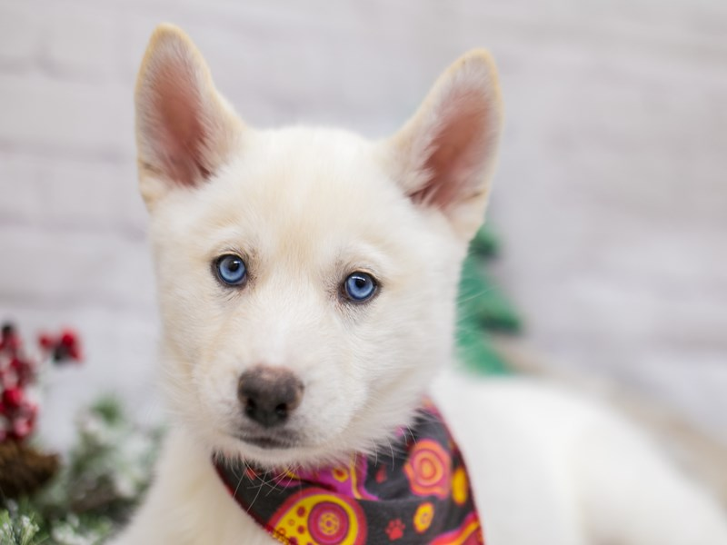 Siberian Husky-Female-White-2948498-Petland Wichita, KS