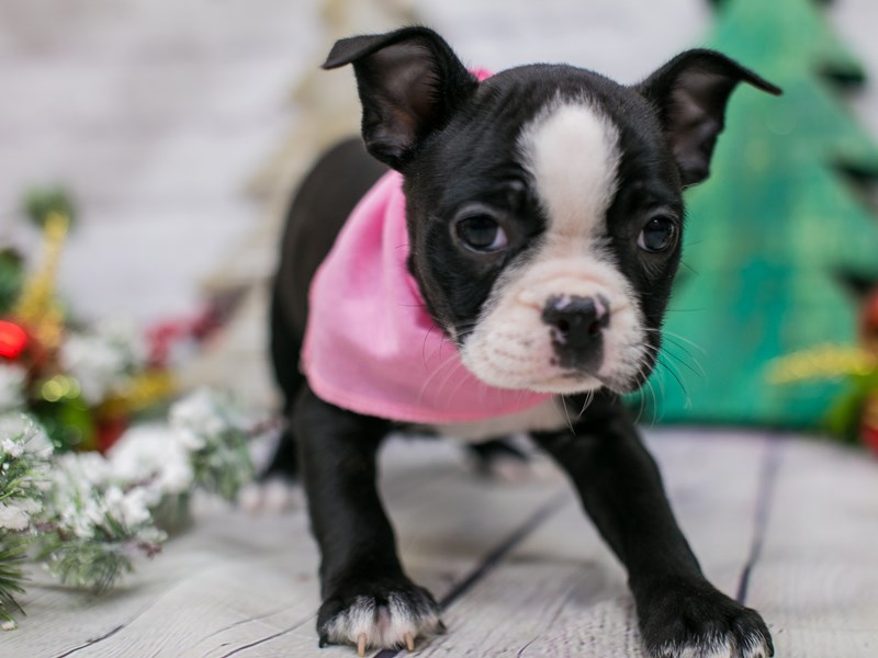 Boston Terrier-Female-Black & White-2948361-Petland Wichita, KS