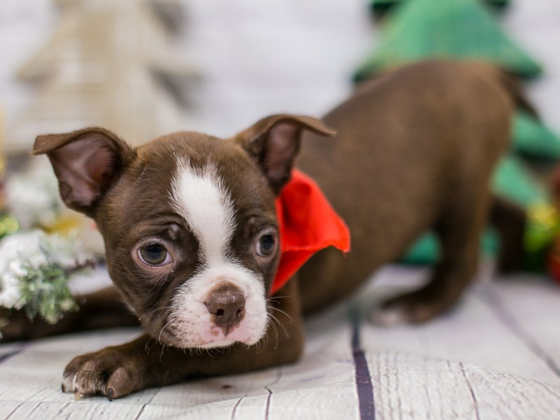 Boston Terrier-Male-Red & White-2948337-Petland Wichita, KS