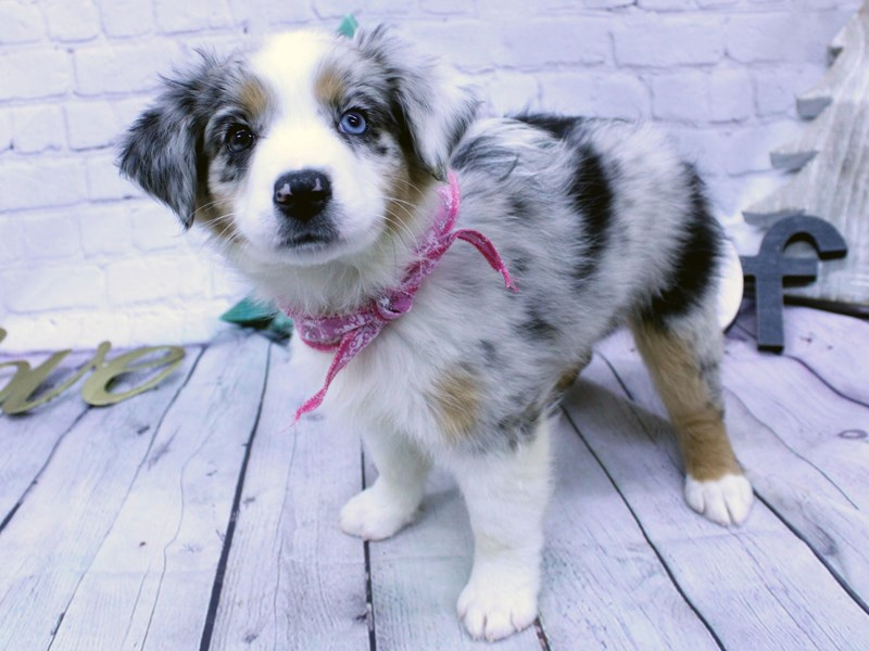 Australian Shepherd-DOG-Female-Blue Merle Bi-eyed-2957172-Petland Wichita, KS