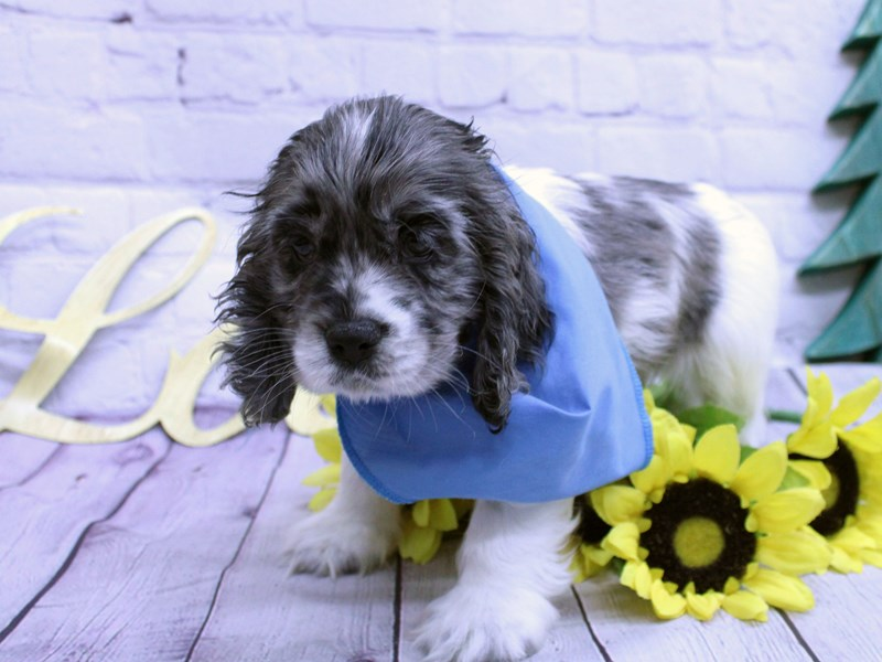 Cocker Spaniel-Male-Blue Merle Pibald-2957129-Petland Wichita, KS