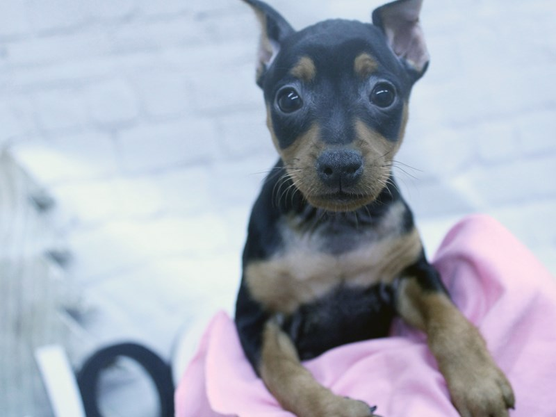 Miniature Pinscher-Female-Black And Rust-2956981-Petland Wichita, KS