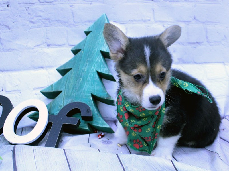 Pembroke Welsh Corgi-DOG-Male-Black Tri-2957760-Petland Wichita, KS