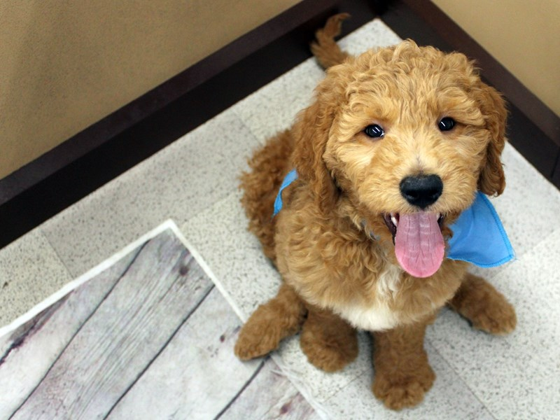 Goldendoodle-Male-Red-2957627-Petland Wichita, KS