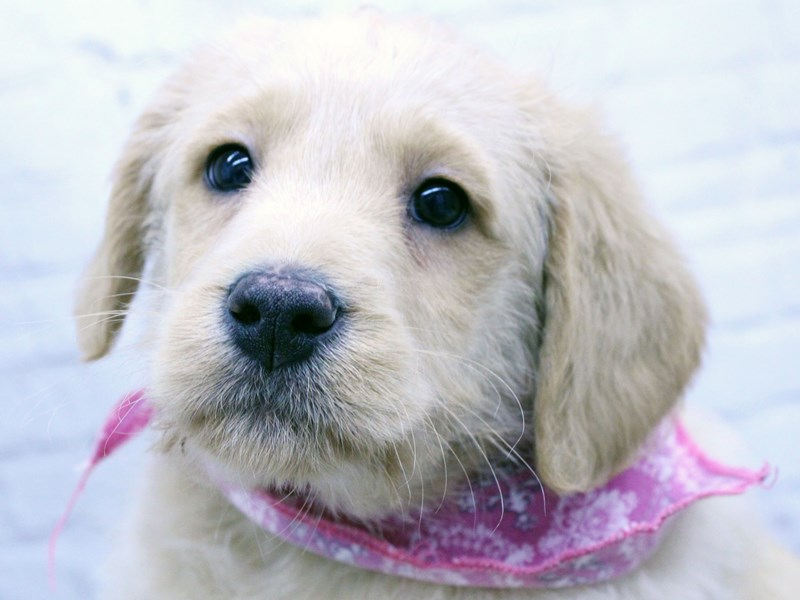 Goldador Retriever-DOG-Female-Golden-2965602-Petland Wichita, KS