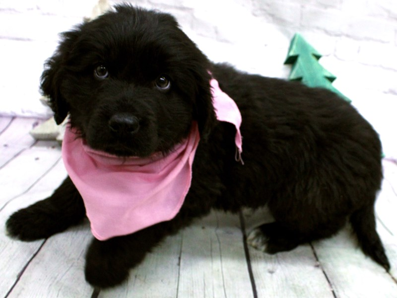 Newfoundland-DOG-Female-Black-2965716-Petland Wichita, KS