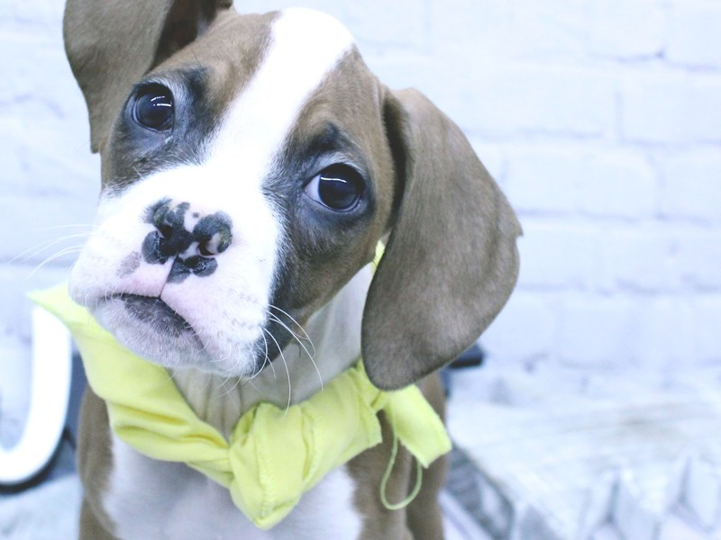 Boxer-Female-Flashy Red-2965595-Petland Wichita, KS