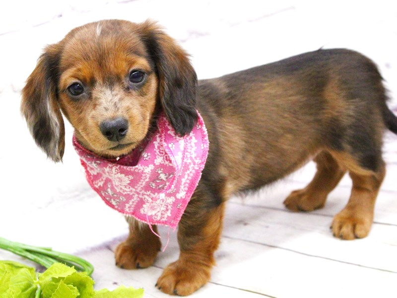 Miniature Dachshund-DOG-Female-Long Haired Wild Boar With Merle Freckles-2973725-Petland Wichita, KS