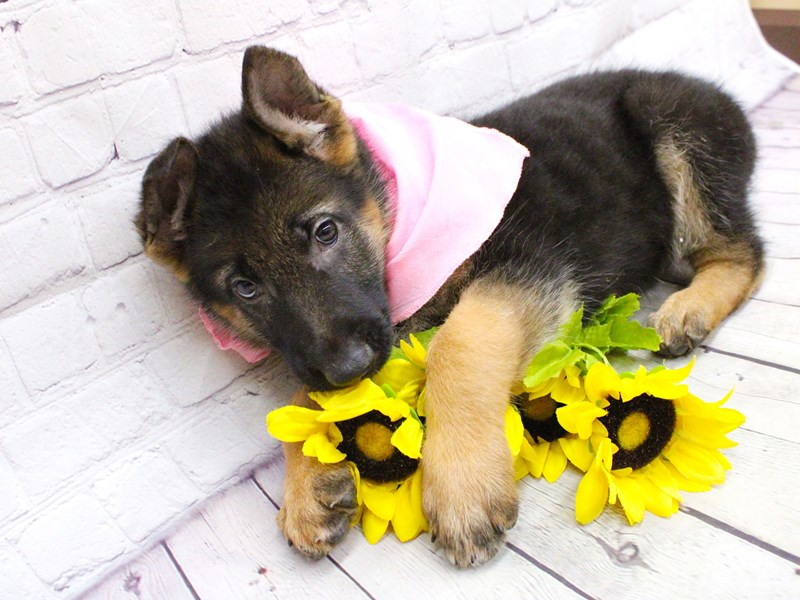 German Shepherd-Female-Black and Tan-2973387-Petland Wichita, KS