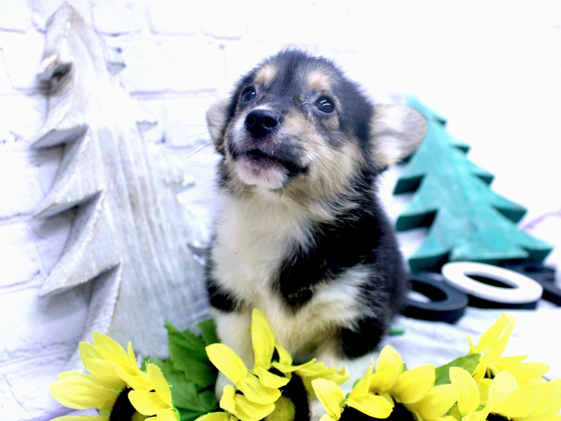 Pembroke Welsh Corgi-Female-Black Tri-2957778-Petland Wichita, KS