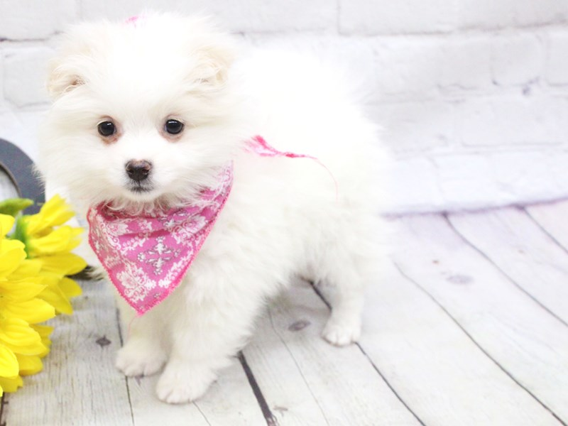 Eskipom-Female-White-2982481-Petland Wichita, KS