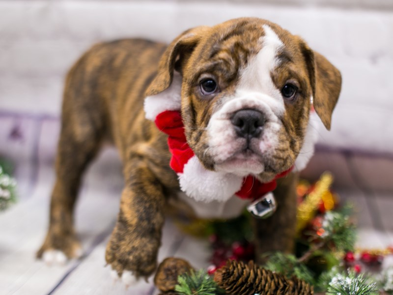 English Bulldog-Female-Brindle w/White-2912515-Petland Wichita, KS