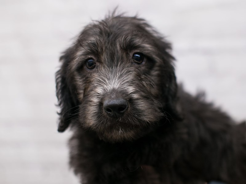 Mini Labradoodle-DOG-Female-Black-2934721-Petland Wichita, KS