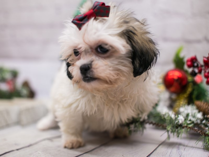 Toy ShihPoo-Female-White & Gold-2942289-Petland Wichita, KS