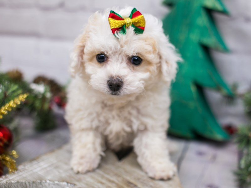 Miniature Poodle-Female-White & Apricot-2942052-Petland Wichita, KS