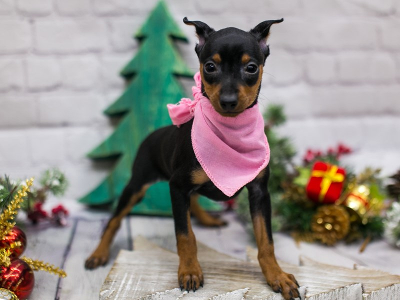 Miniature Pinscher-Female-Black & Rust-2941929-Petland Wichita, KS