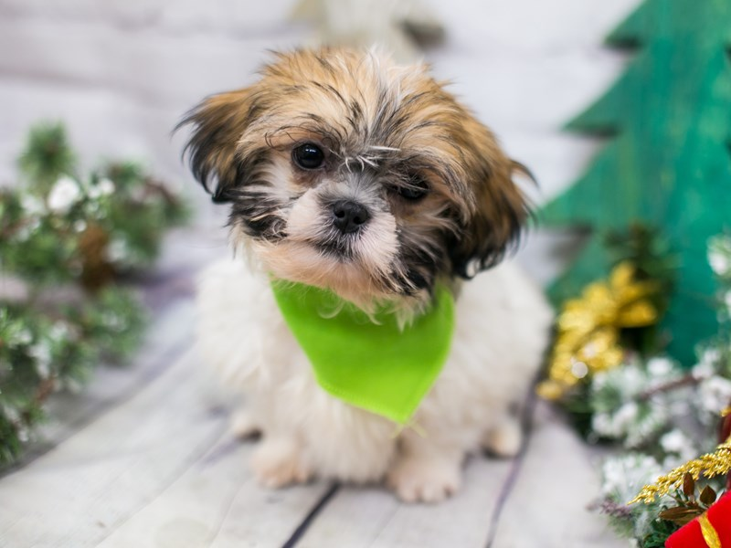 Toy ShihPoo-Male-White & Gold-2942302-Petland Wichita, KS