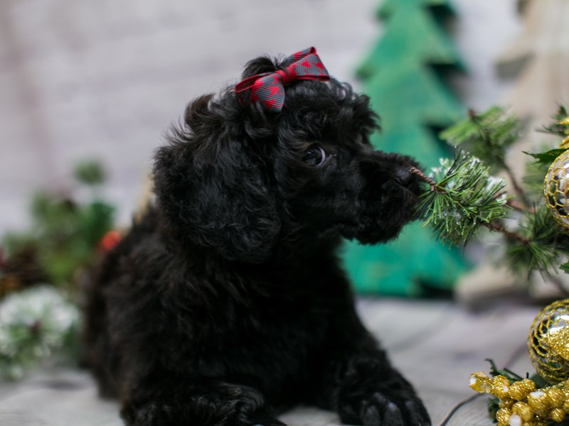 Miniature Poodle-Female-Black-2948598-Petland Wichita, KS