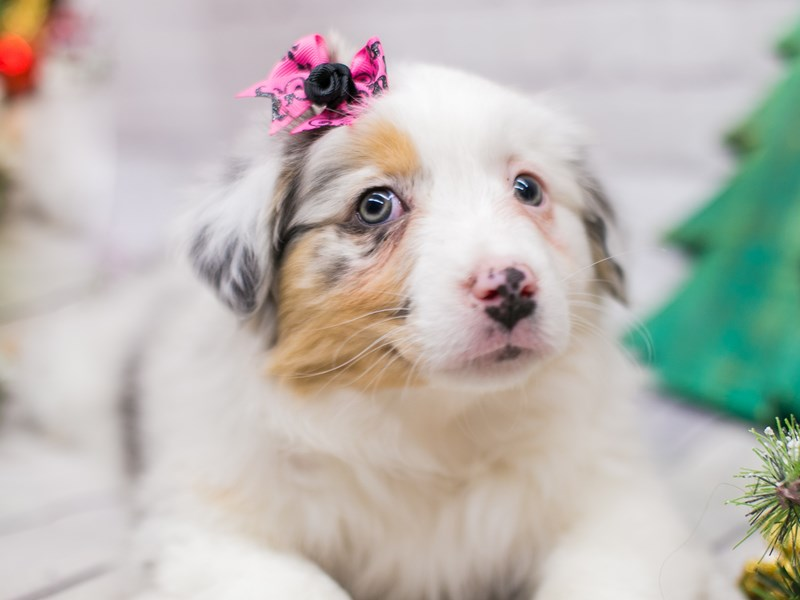 Miniature Australian Shepherd-Female-Blue Merle-2948563-Petland Wichita, KS