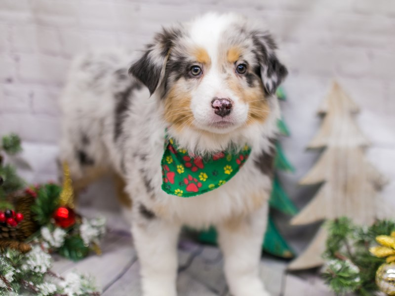 Miniature Australian Shepherd-DOG-Male-Blue Merle-2948539-Petland Wichita, KS