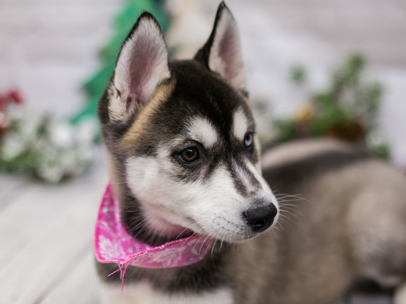 Siberian Husky-Female-Grey & White-2948471-Petland Wichita, KS
