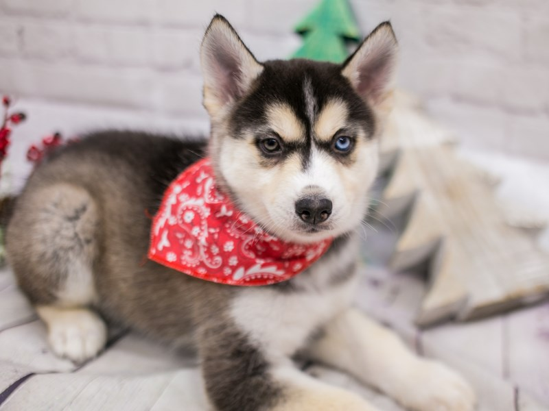 Siberian Husky-Male-Grey & White-2948453-Petland Wichita, KS