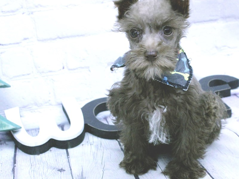 Miniature Schnauzer-Male-Chocolate-2966053-Petland Wichita, KS