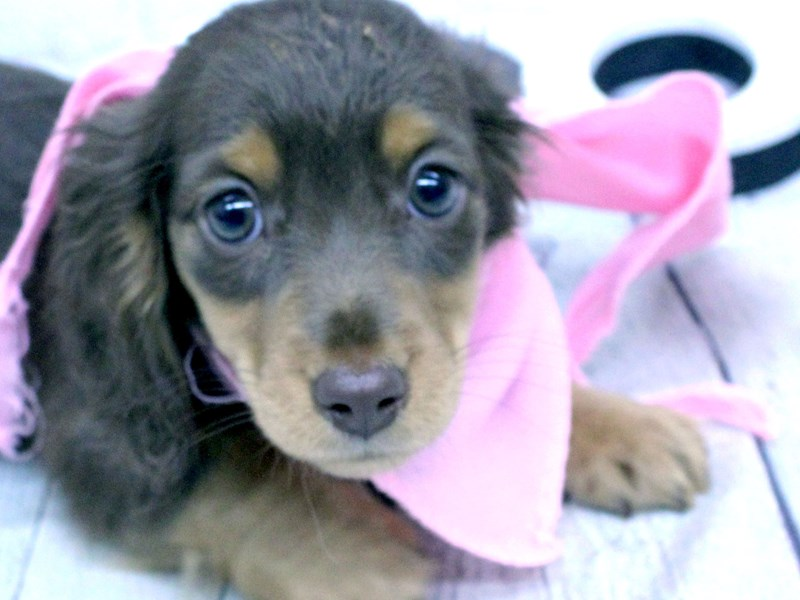 Miniature Dachshund-DOG-Female-Chocolate & Tan Long Haired-2966035-Petland Wichita, KS