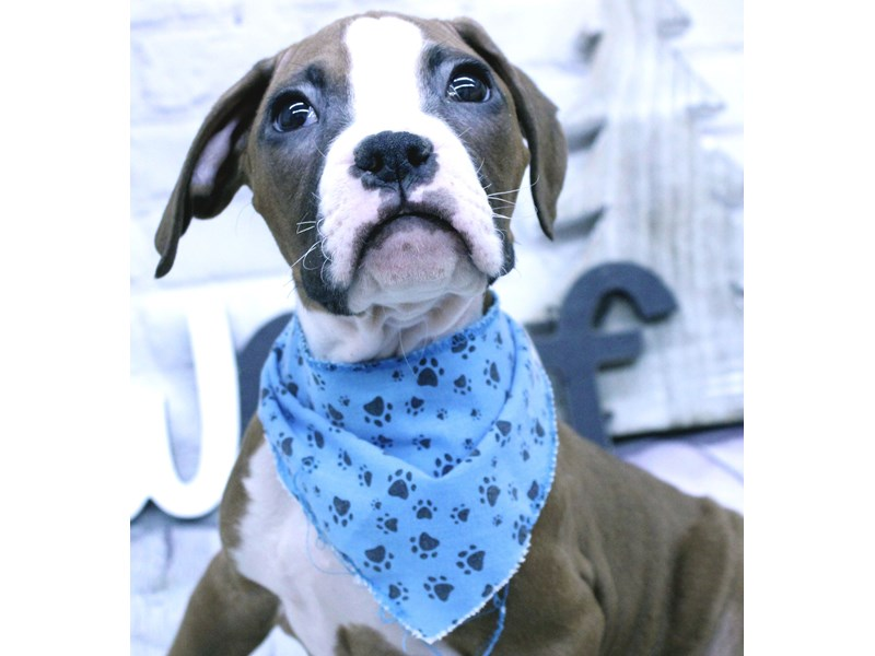 Boxer-DOG-Male-Flashy Red-2965587-Petland Wichita, KS
