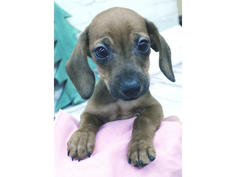 Miniature Dachshund-Female-Wild Boar Smooth Coat-2965465-Petland Wichita, KS