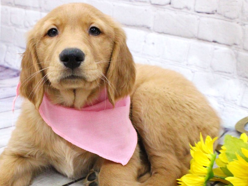 Golden Retriever-Female-Golden-2974075-Petland Wichita, KS