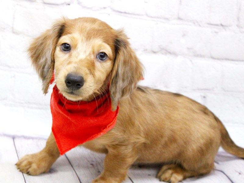 Miniature Dachshund-Male-Long Haired Red Dapple-2973755-Petland Wichita, KS