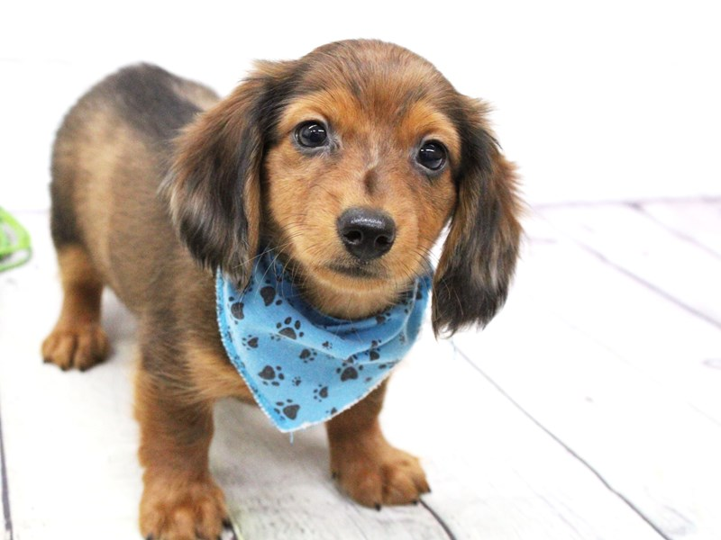 Miniature Dachshund-DOG-Male-Long Haired Wild Boar-2973711-Petland Wichita, KS