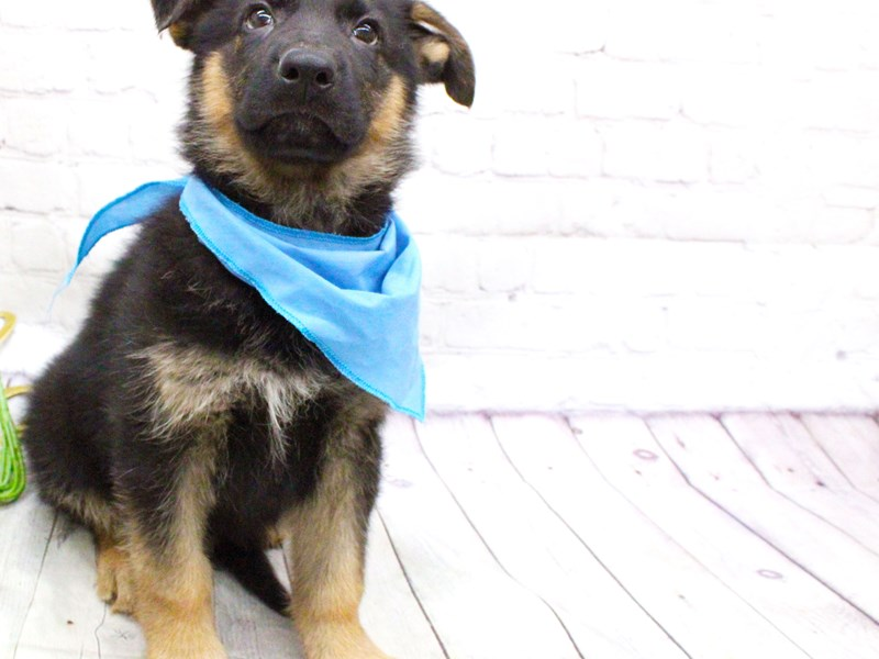 German Shepherd-Male-Black and Tan-2973376-Petland Wichita, KS