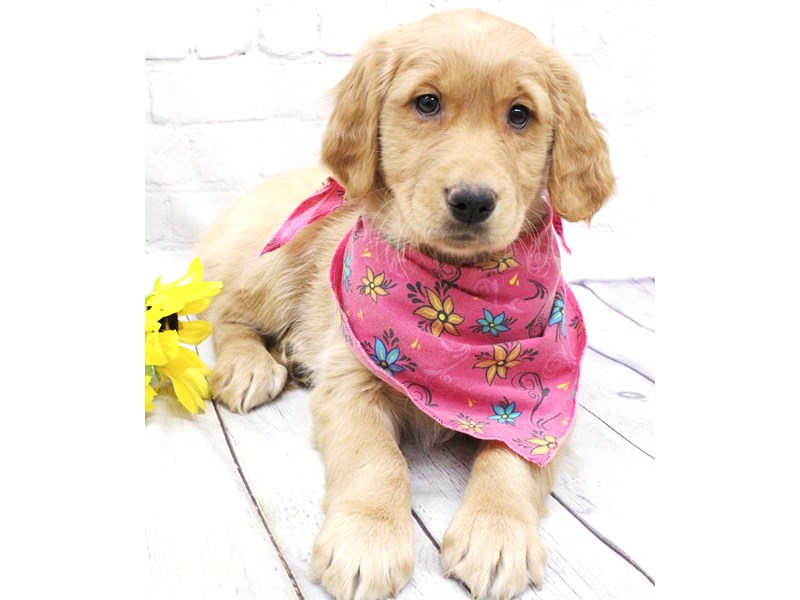 Golden Retriever-Female-Golden-2974077-Petland Wichita, KS