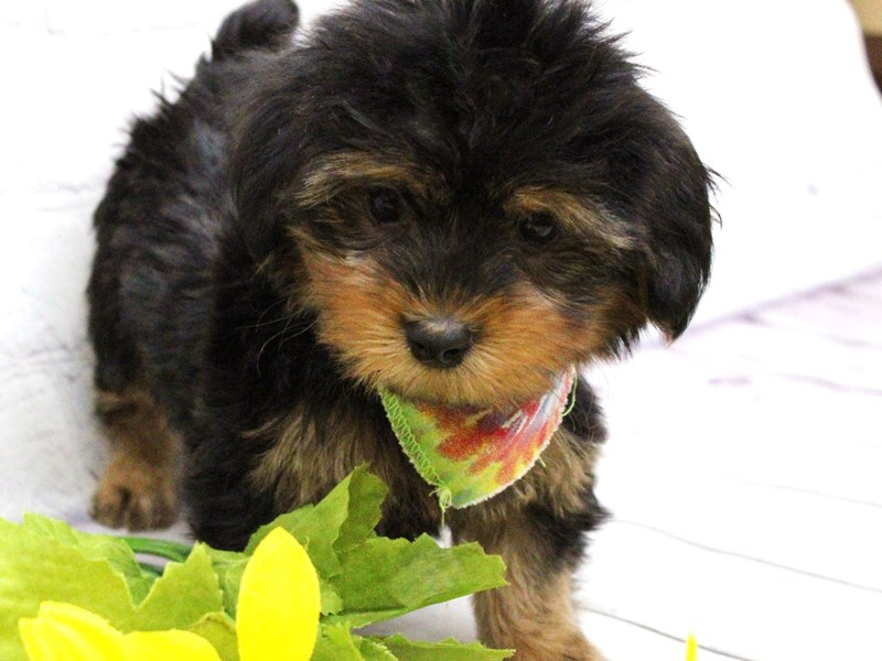 Yorkshire Terrier-Female-Black & Gold-2973546-Petland Wichita, KS